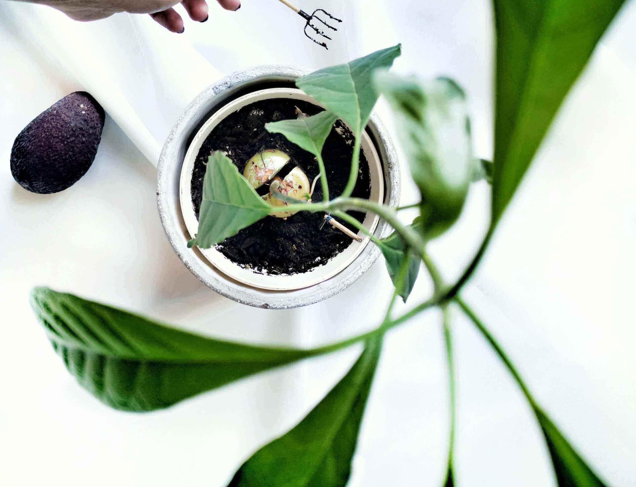 IMG 20200105 122715 01 1 scaled - Z jadierka stromček - Ako si doma vypestovať avokádo?