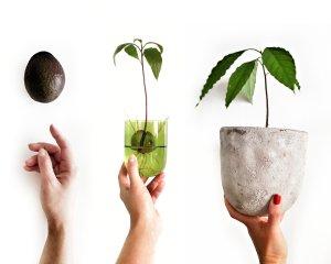 inCollage 20191117 152454275 01 300x240 - Z jadierka stromček - Ako si doma vypestovať avokádo?