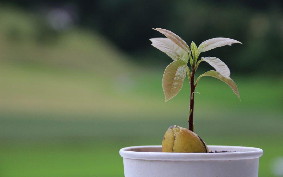 Vom Kern zur Pflanze – So züchtet man Avocado!